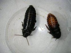 画像5: マダガスカルコックローチ (大:5cm〜6cm ) 5匹