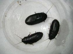 画像1: マダガスカルコックローチ (中:3cm〜4cm) 10匹