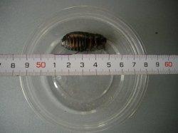 画像2: マダガスカルコックローチ (中:3cm〜4cm) 10匹