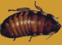 マダガスカルコックローチ (大:5cm〜6cm ) 5匹
